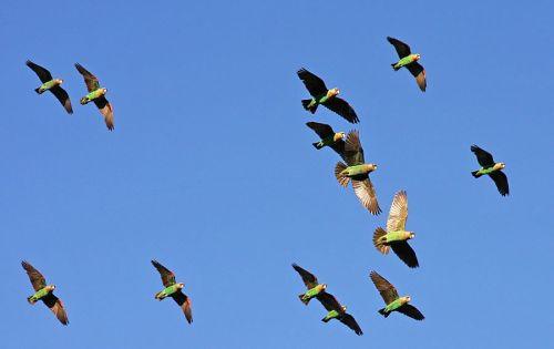 Parrot-flying