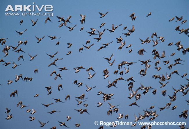 sparrow-flock-in-flight